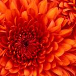 sa_1521577979Chrysanthemum